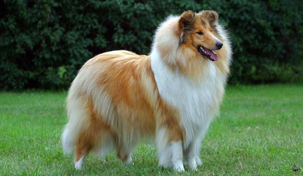 Порода собак колли - шотландская овчарка.