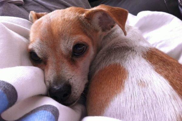 Воспаление лёгких у собак