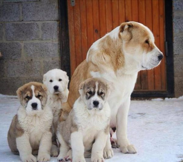 Кормление собаки алабай
