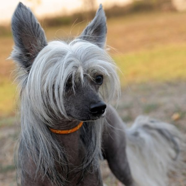 Уход за китайской хохлатой собакой