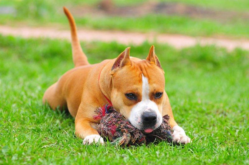 Американский стаффордширский терьер является породой, выведенной в Америке. Обычно собак этой породы называют амстафф. По своей сути, порода относится к бойцовым, но из-за неправильной, ошибочной селекции в странах СНГ приобрела статус собаки-убийцы.