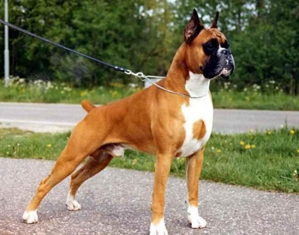 Порода собак боксер. Всео породе собак боксер.