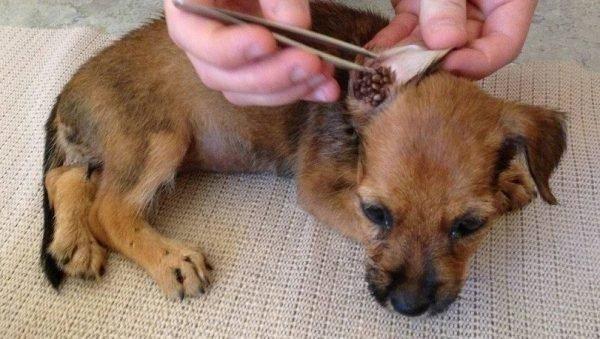 Как защитить собаку на природе от клещей