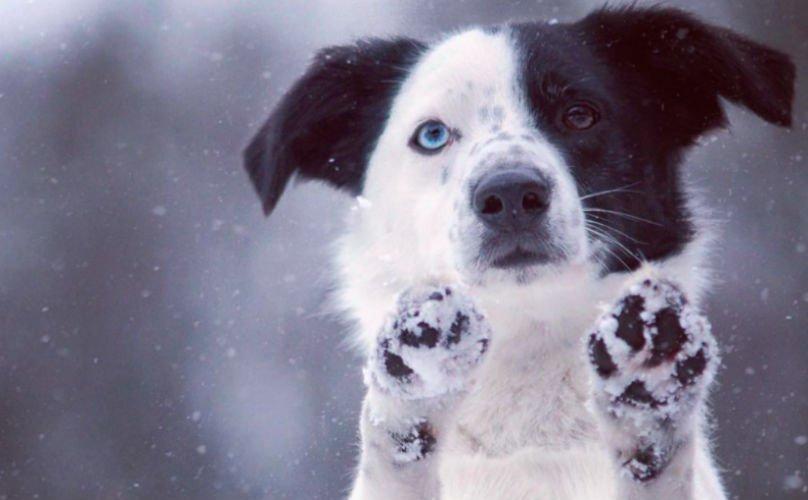 Как защитить лапы собаки зимой