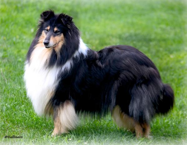 Порода собак Колли.