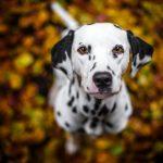 Порода собак Далматин