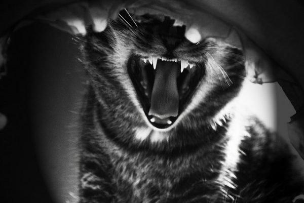 Если кошка заразилась бешенством.