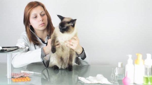 Отит у кошек и его лечение
