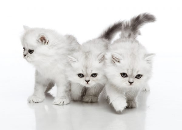 Заболевания нервной системы у кошек