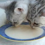 Почему кошкам нельзя давать молоко