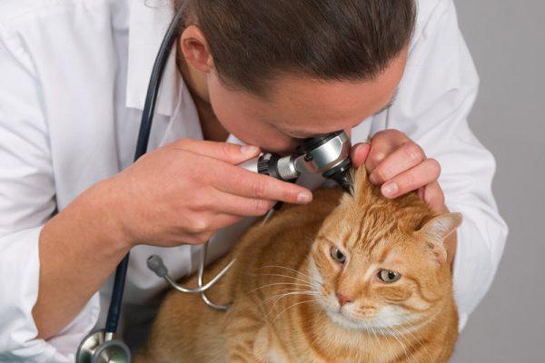 Ушной клещ у кошек симптомы и лечение