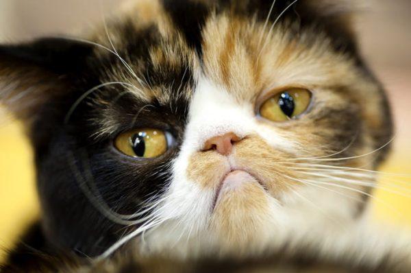 Лямблиоз у кошек