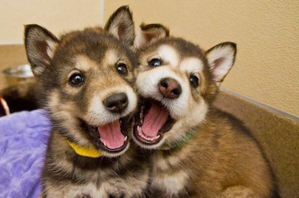 Стоит ли заводить вторую собаку