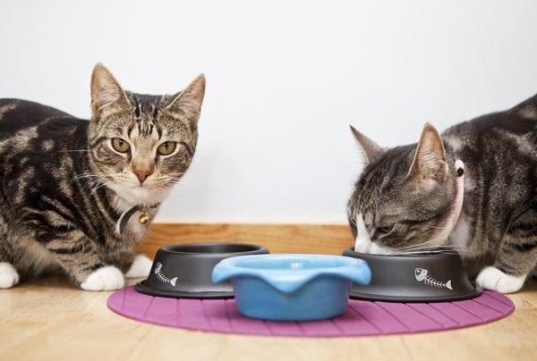 Почему кошку рвет после еды