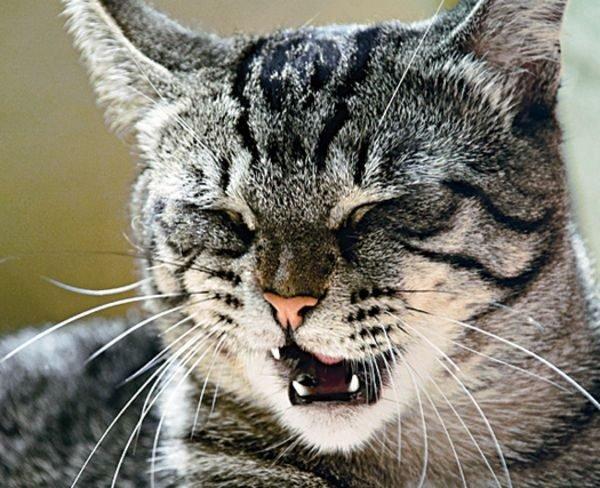 Кот чихает что делать