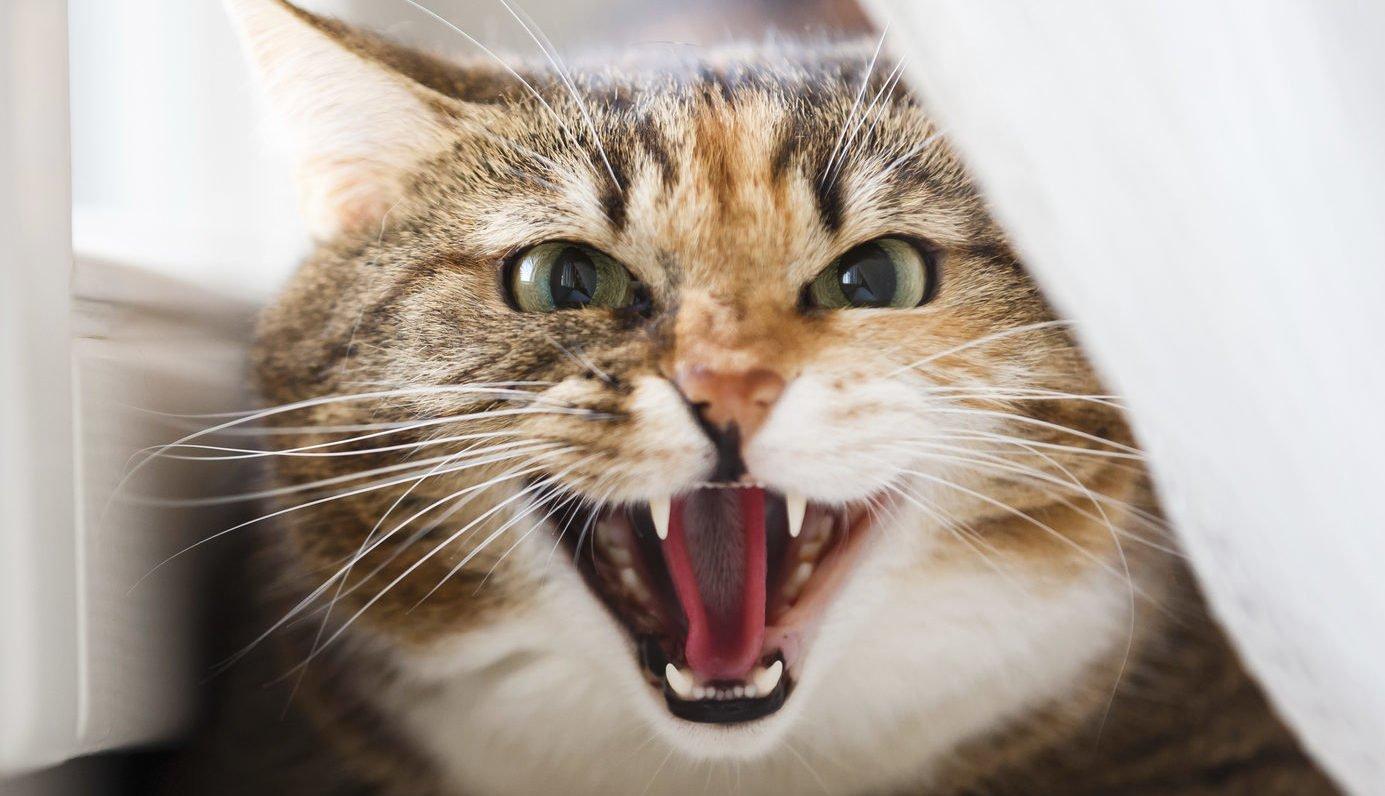 Если кошка заразилась бешенством