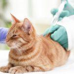 Как правильно сделать в холку укол кошке