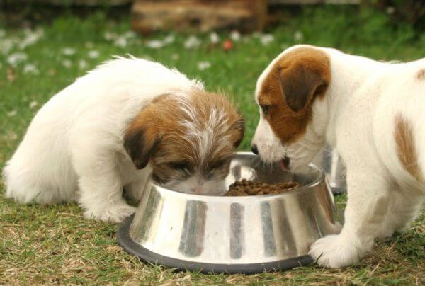 Кормление щенков мелких пород