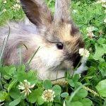 Можно ли кроликам клевер