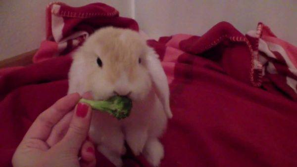 Можно ли кроликам брокколи