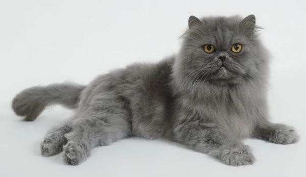 Серые кошки принесут удачу в дом