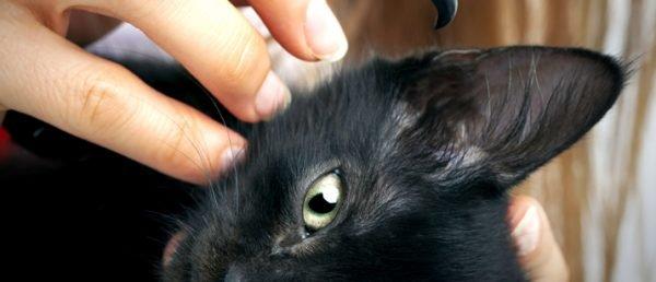 Почему кошка трясет ушами