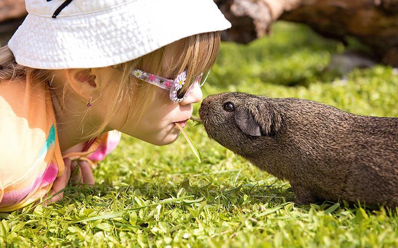 Как выбрать здоровую морскую свинку