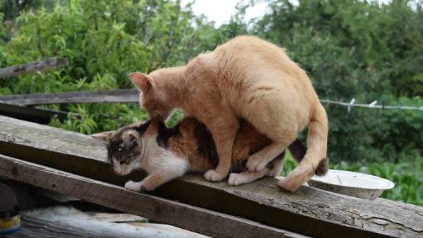 Когда у кошки начинается течка