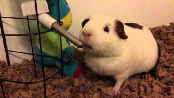 Миски и поилки для морской свинки