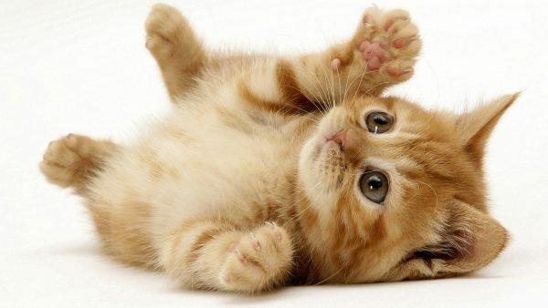 Хочу завести котенка что нужно знать