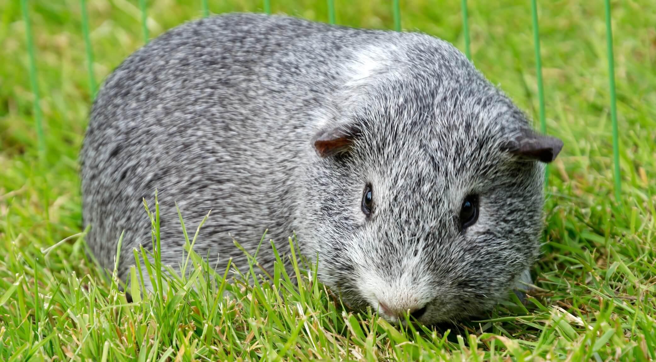 Профилактика заболеваний у морских свинок