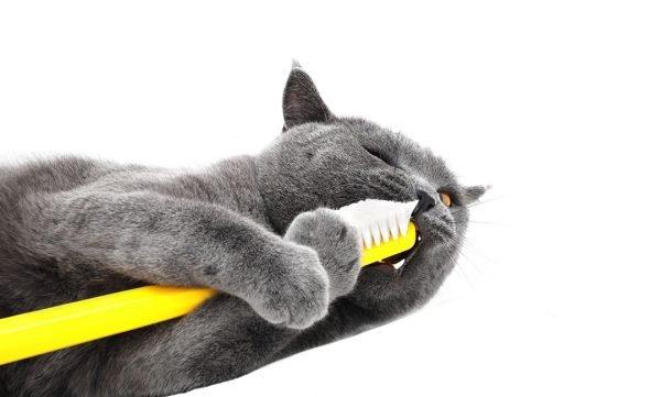 Как почистить кошки зубы