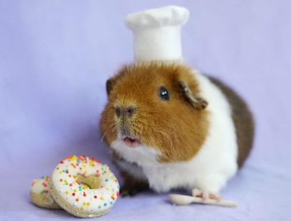 Чем нельзя кормить морских свинок