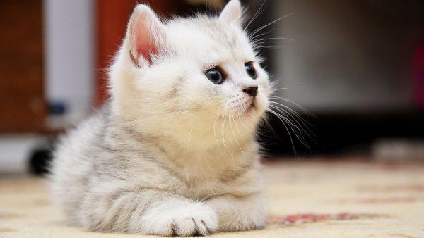 Блохи у кошек как избавиться