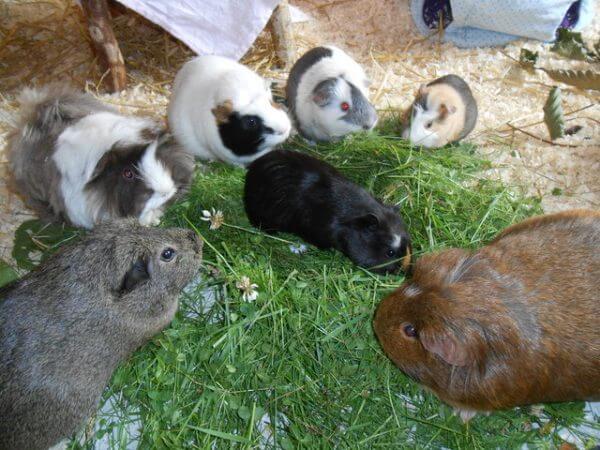 Свежая трава и сено для морских свинок