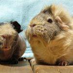 Уход за клеткой морской свинки