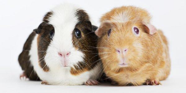 Интересные факты о морских свинках