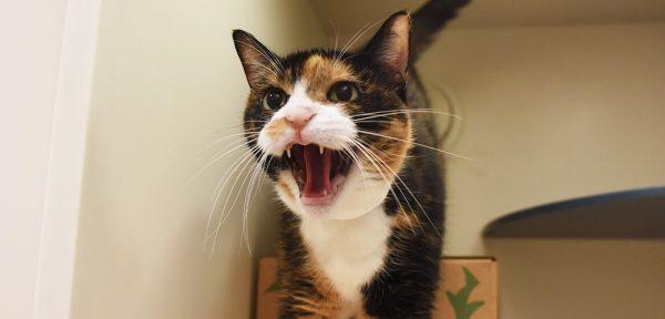 Что делать если кошка агрессивная