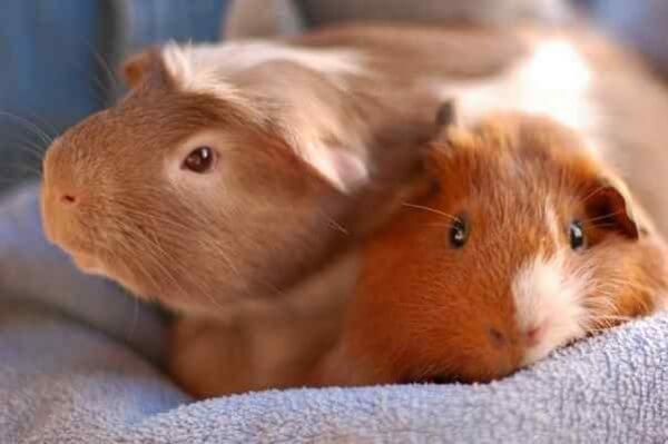 Уживутся ли морские свинки друг с другом