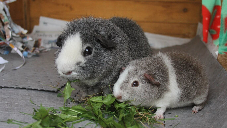 Роды и беременность морской свинки