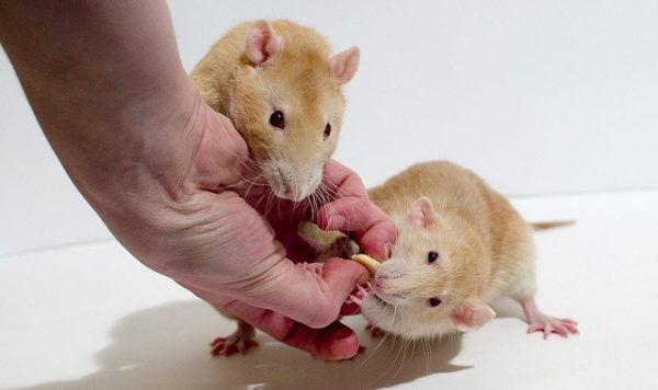 Лакомства для декоративных крыс
