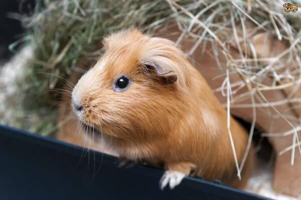 Немного о физиологии морских свинок