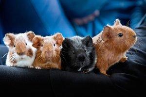 Какую породу морских свинок выбрать