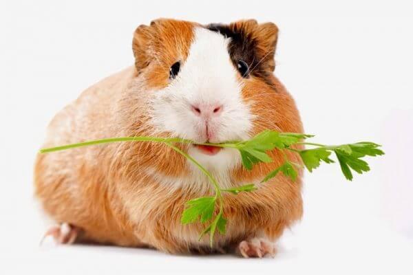 Правила кормления морских свинок