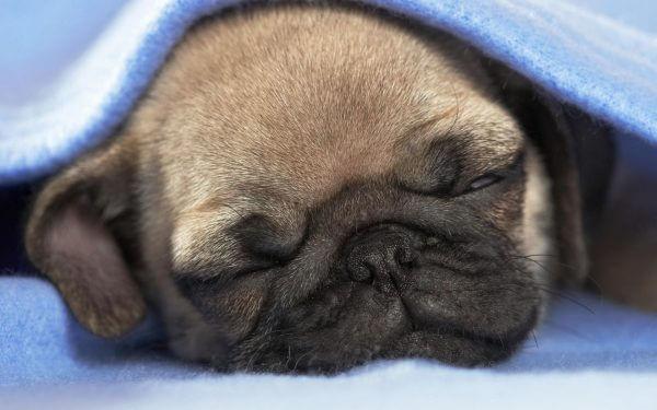 15 Породы собак, которые любят спать