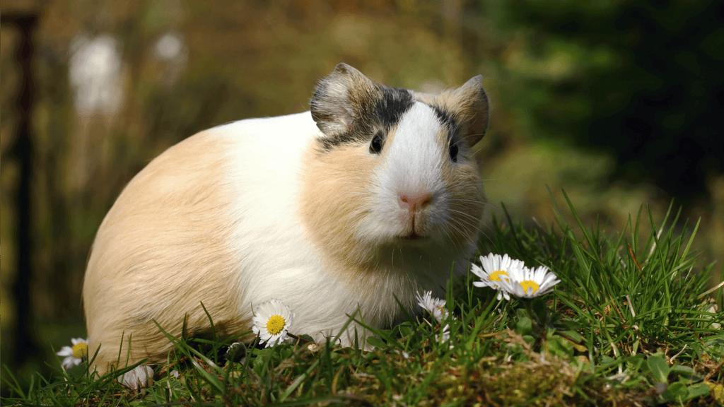Морские свинки пол и возраст