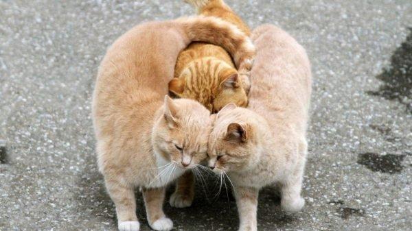 Что делать если кошка начинает просить кота