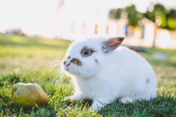 Можно ли кроликам груши