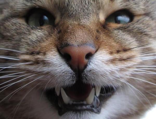 Почему кошка скрипит зубами
