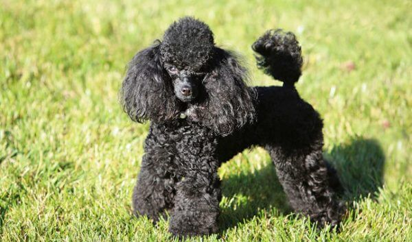 Собаки долгожители породы